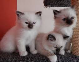 Male and Female Birman Kittens
