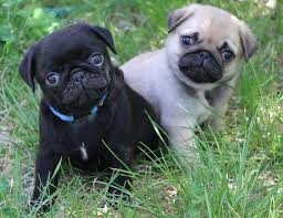 **Pug Puppies Available **