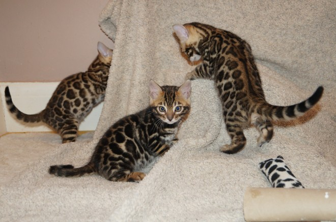 Home Trained and Vaccinated Bengal Kitten