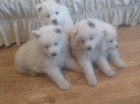 Home Trained Samoyed puppies
