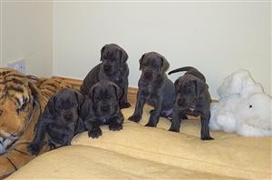 Male And Female Great Dane puppies