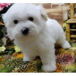 Lovely Bichon Frise puppies
