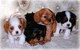 Pedigree Cavalier king charles spaniel puppies ready Now