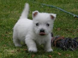 *** Stunning West Highland White Terrier Puppies Ready Now ***