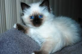 Male and Female Birman Kittens For Re homing