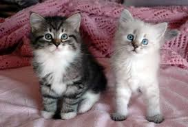 Cute Siberian Kittens ready to go Food Homes