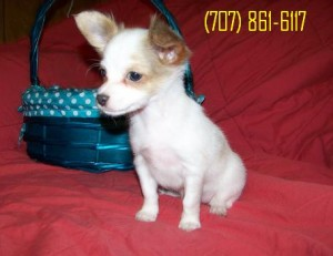 White/blue and Fawn Chihuahua Puppies