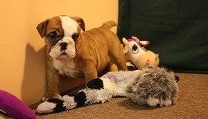 HEALTHY AKC ENGLISH BULLDOG PUPPY AVAILABLE