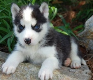 siberian husky puppies registered see pics beautiuful blue eyes