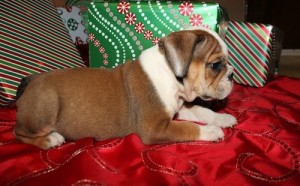 Gorgeous Female English Bulldog Puppy Available for adoption