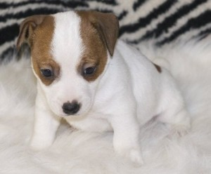 jack russel puppies for adoption