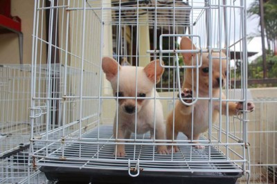 Chihuahua puppies ready for their new home