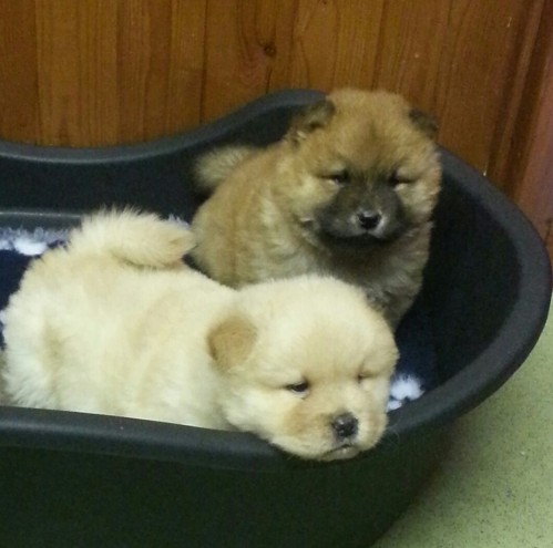 Beautiful chowchow Puppies