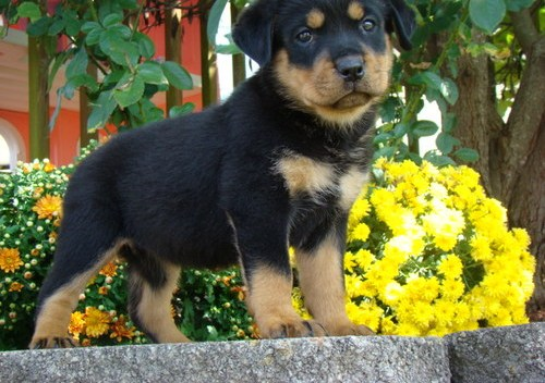 Beautiful Male and Female Rottweiler Puppies for free home adoption