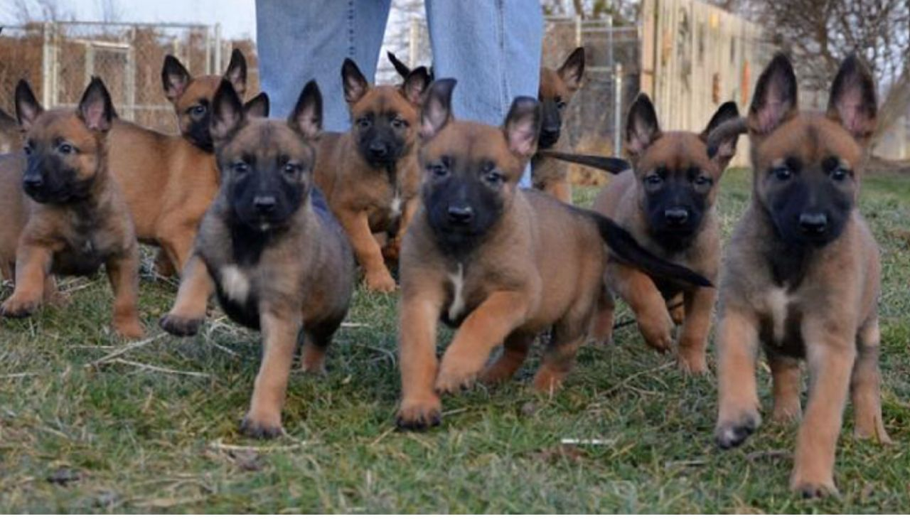 Belgian Malinois Pup (dog)