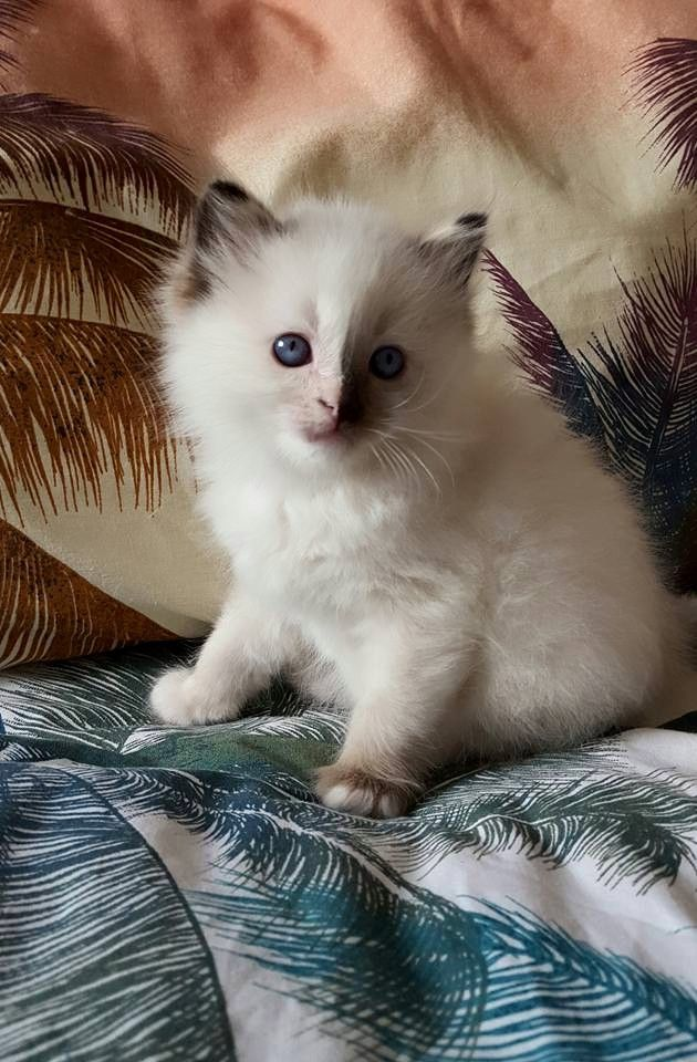Purebred Blue and Seal Point Ragdoll Kittens