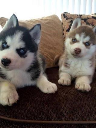 Blue Eyed Siberian Husky Puppy