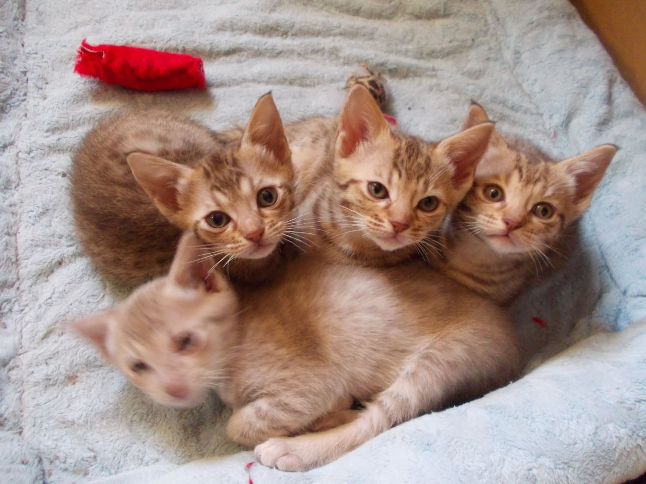Adorable Ocicat Kittens