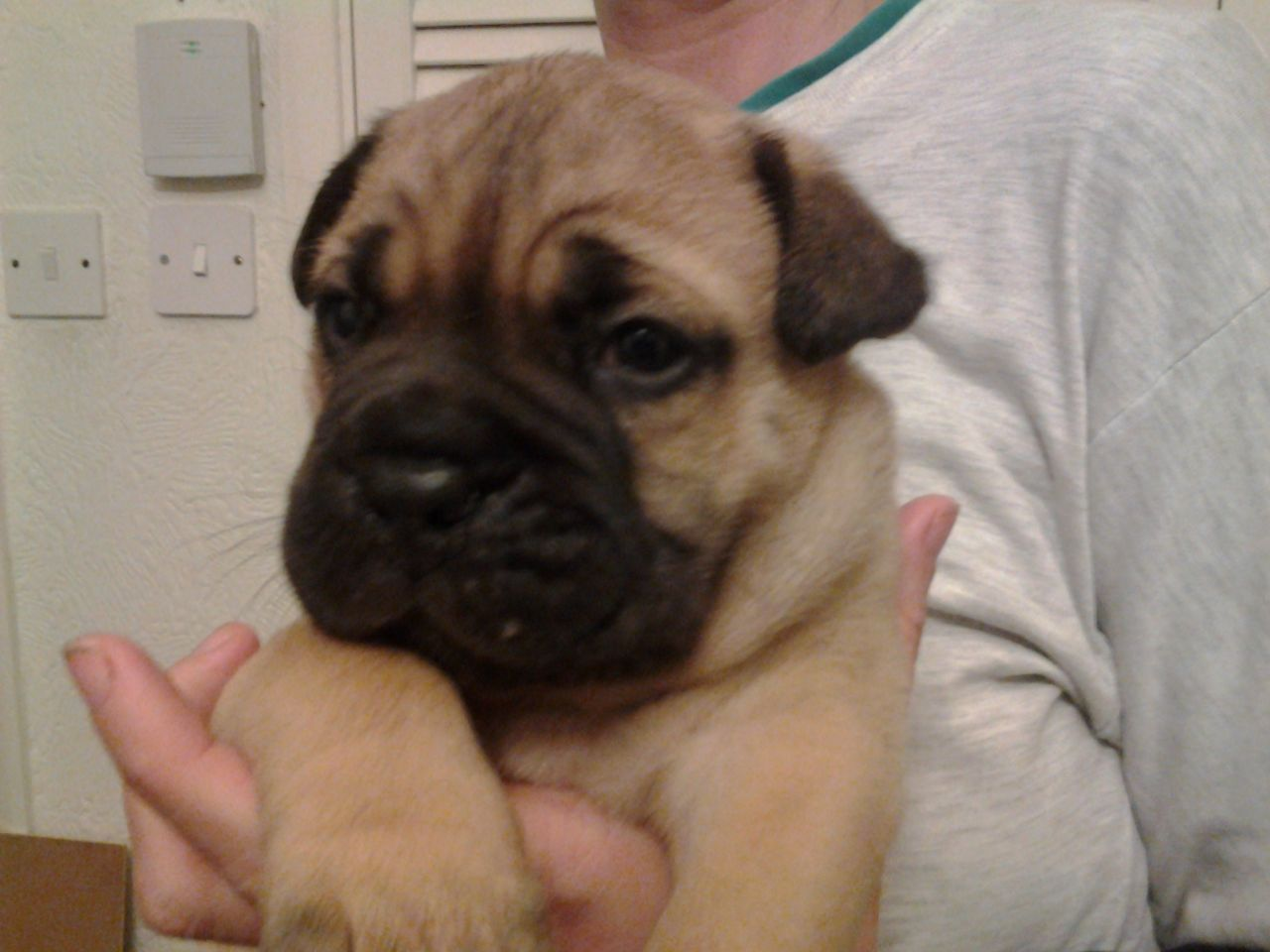 Bullmastiff Champion Bloodlines, Kc Registered