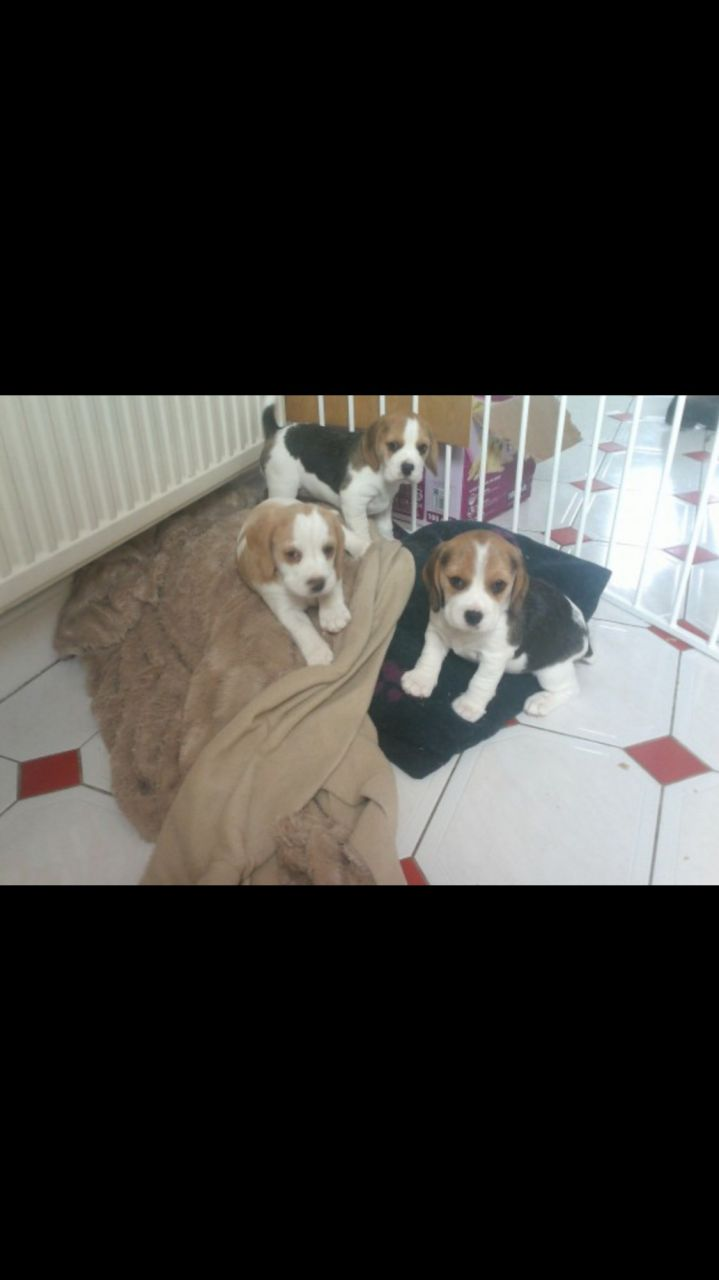 Adorable Beagle Puppies For Adoption