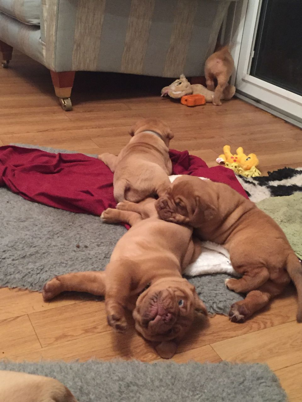 Stunning Chunky Dogue De Bordeaux Puppies