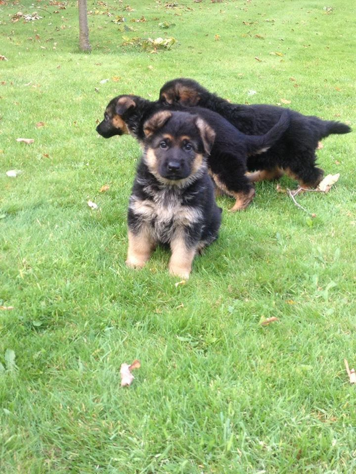 Gorgeous German Shepherd Puppies For Sale
