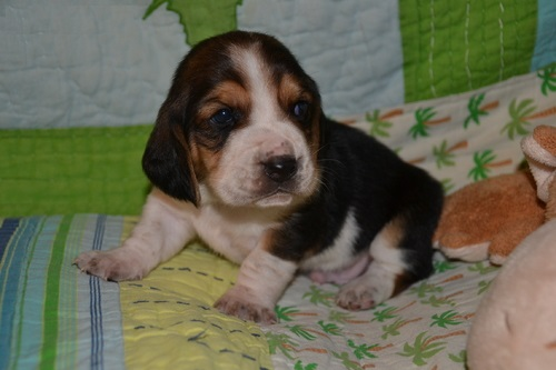 First grade Current Basset Hound Puppies For Sale