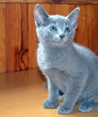 Russian blue Kittens available