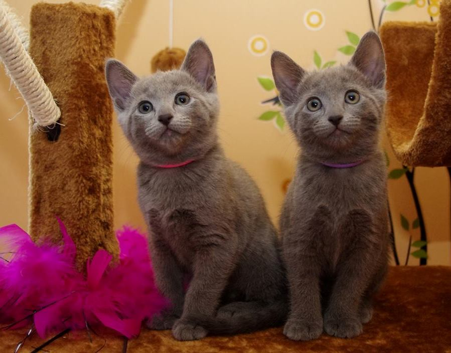 Lovely  Russian Blue Kitten Available today