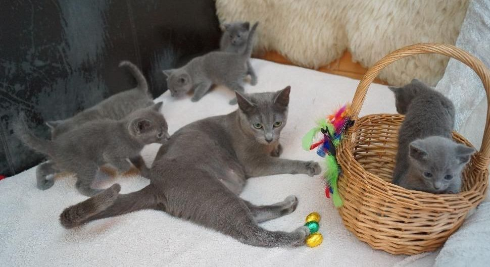M/F Russian Blue Kitten Available today