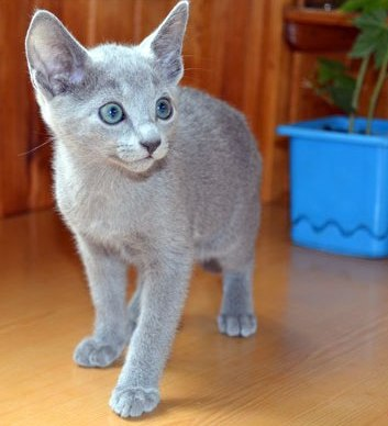 Pure breed M/F Russian Blue Kitten Available today
