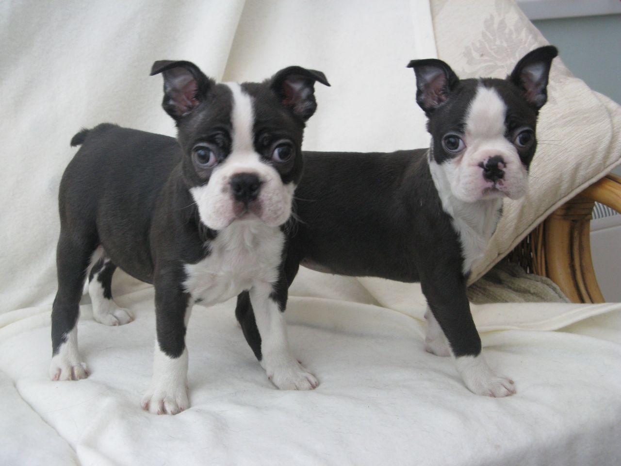 Dog Adoption Boston Mass