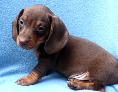 Dachshund young Puppies for sale