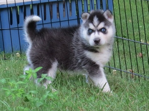 Healthy Siberian husky puppies ready now