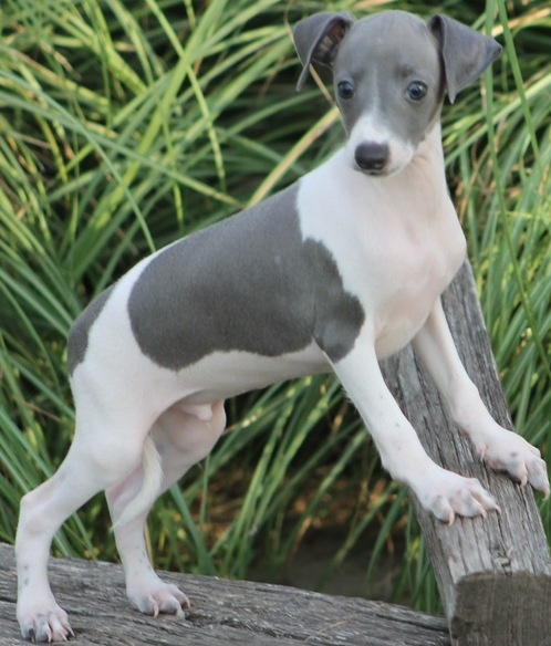 Italian Greyhound Hong Kong Pup Puppy