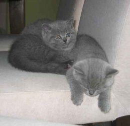 Classic british short hair tabby kittens available