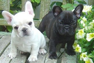 French Bulldogs for Re-homing