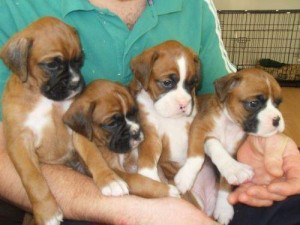 Lovely Boxer Puppies Ready For Their New Homes.