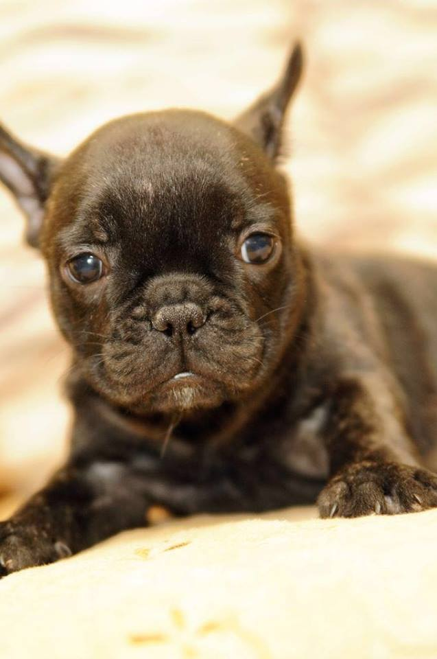 Tiger French Bulldog Puppies
