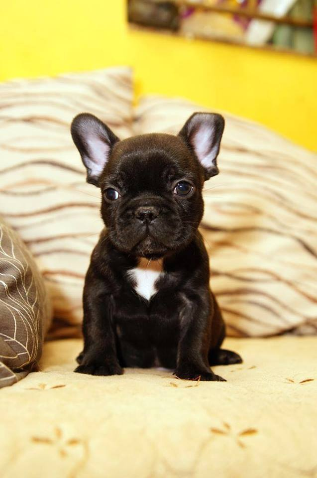 Black puppies French Bulldog