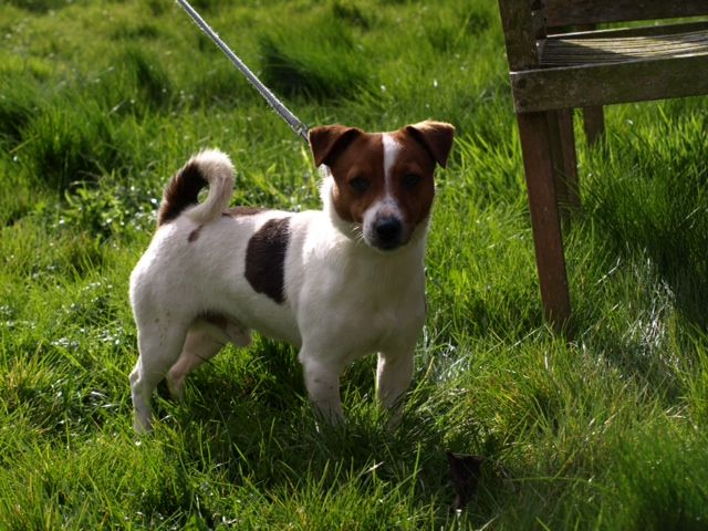 Handsome Small Jack Russell