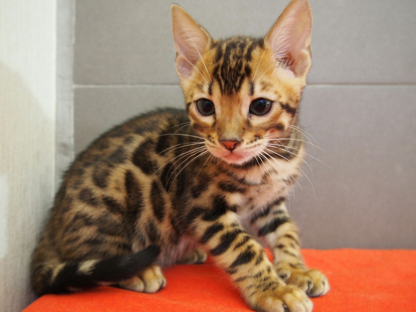 cat urine and pregnancy