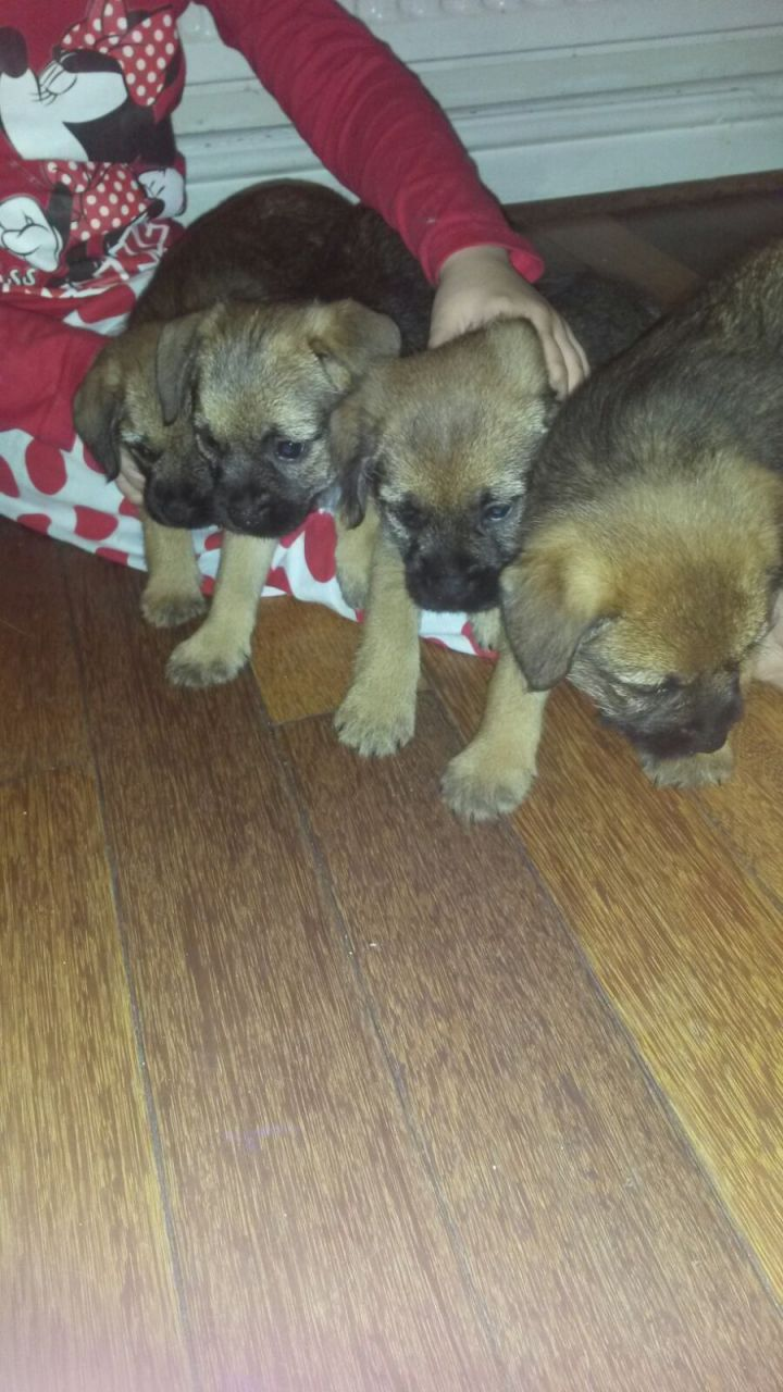 Adorable Border Terrier Puppies for your family this x mass