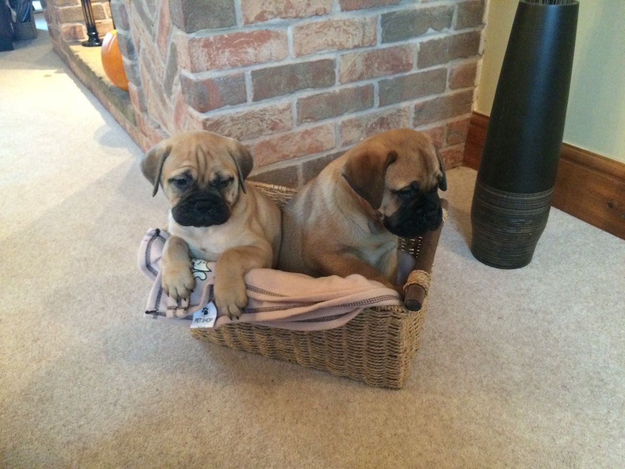 Stunning chunky bullmastiff puppies for sale