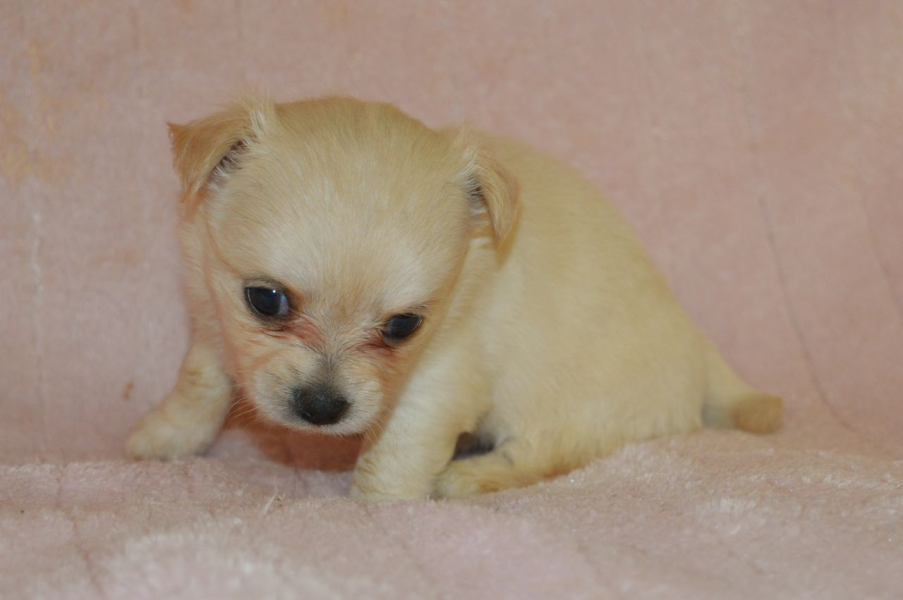 Gorgeous Pedigree Long Haired Female Chihuahua