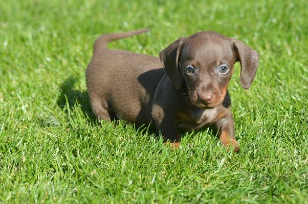 Stunning Pra Clear Mini Dachshund Puppies