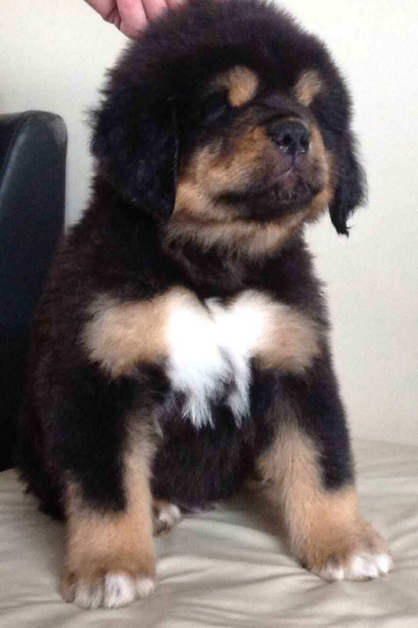Tibetan Mastiff Puppies, 6 Males, 2 Females