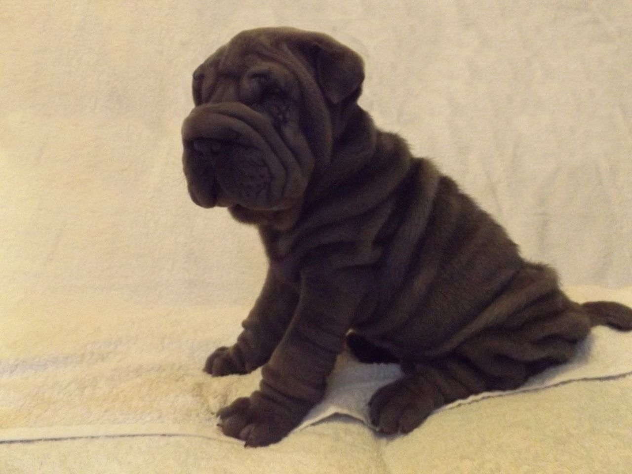 Pedigree Shar Pei Puppies For Sale