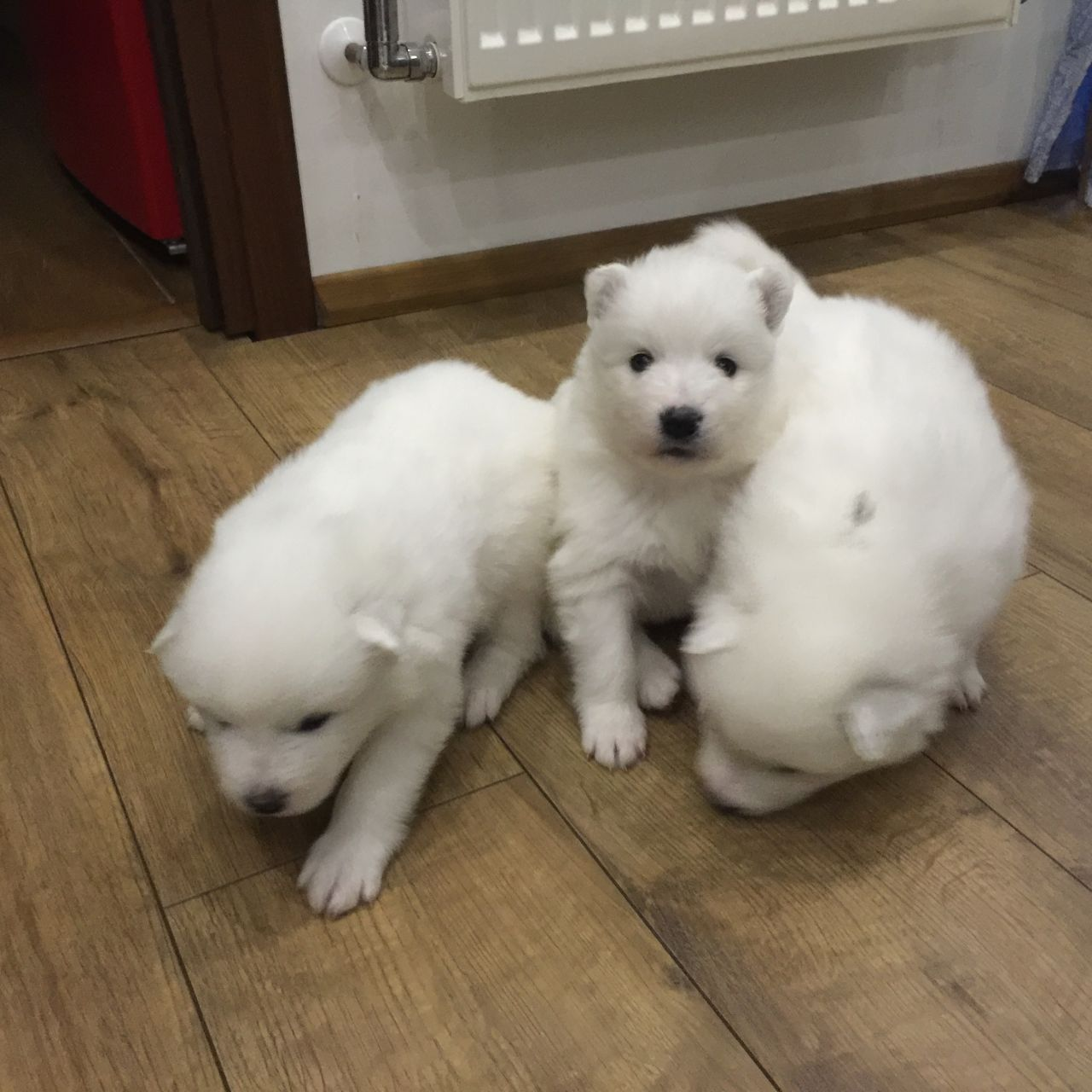 Samoyed Puppies For Sale - Kc Registered