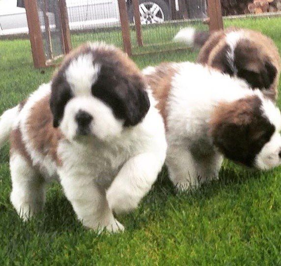 Fluffy Rough Coat Saint Bernard Puppiess.